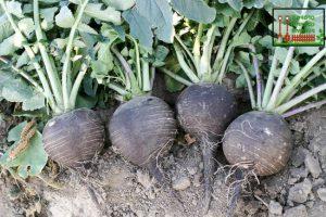 Черная редька – незаслуженно забытый исконно русский овощ