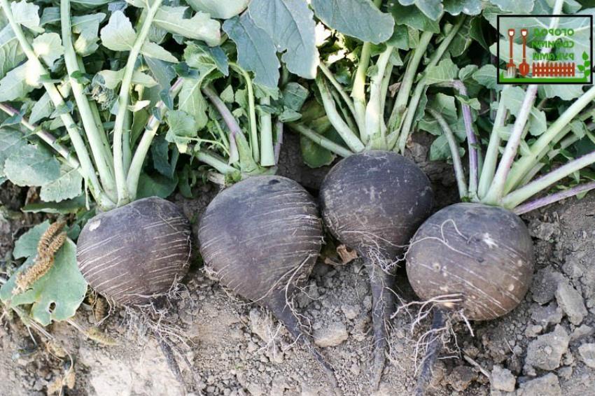 черная редька овощ
