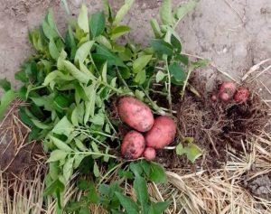 Проращиваем картофель, готовимся к посадке