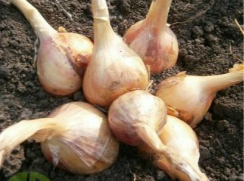 Лук шалот: лучшие сорта, особенности агротехники