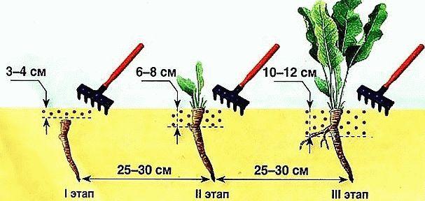 выращивание хрена