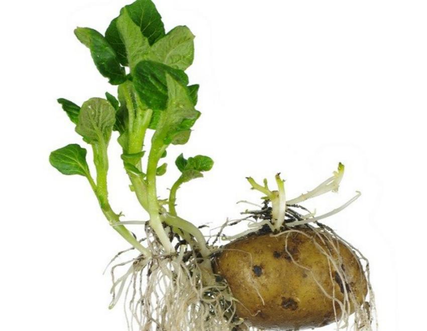 пророщенный картофель