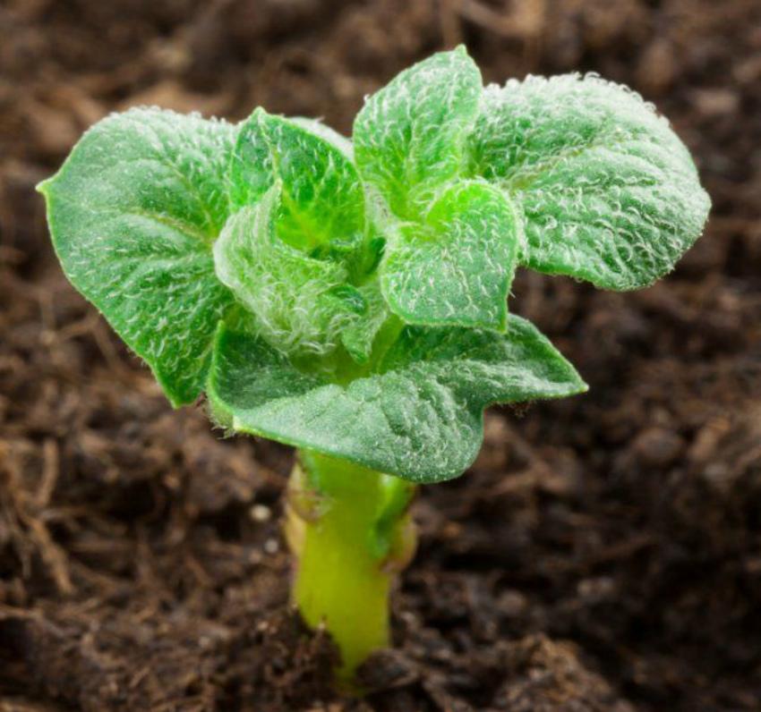 Картошка рассадная