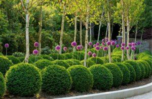 Самшит – зеленое украшение сада с доледникового периода