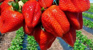 Земляника — царица сада. Технология выращивания, лучшие сорта