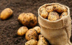 Готовимся к посадке картошки, клубни уже прорастают