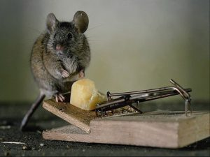 Мыши в доме: откуда взялись и как избавиться?