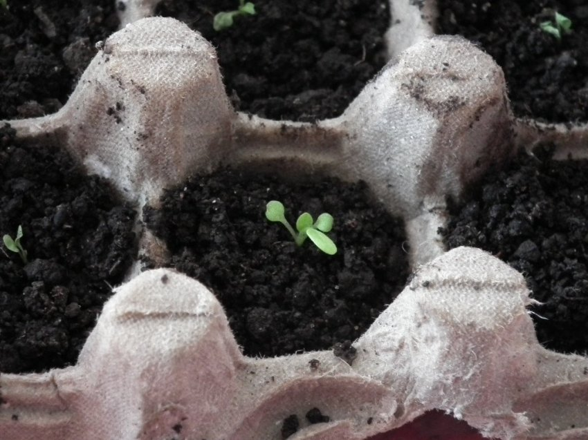 Тара для проращивания семян