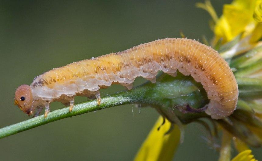 Личинка вредителя