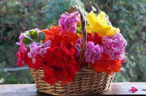Петуния из семян: непростой способ получения красоты