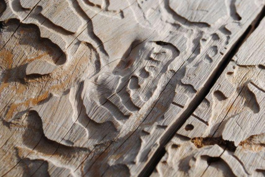 Вред пилильщиков древесине