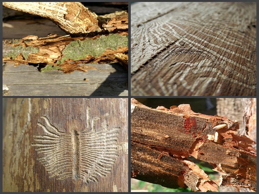 Что могут сделать с древесиной вредители