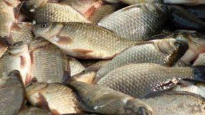 Выращиваем рыб в пруду на даче