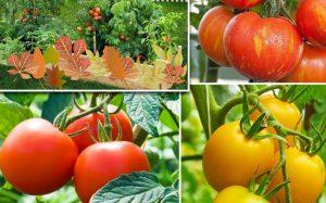 Сорта томатов отечественной селекции