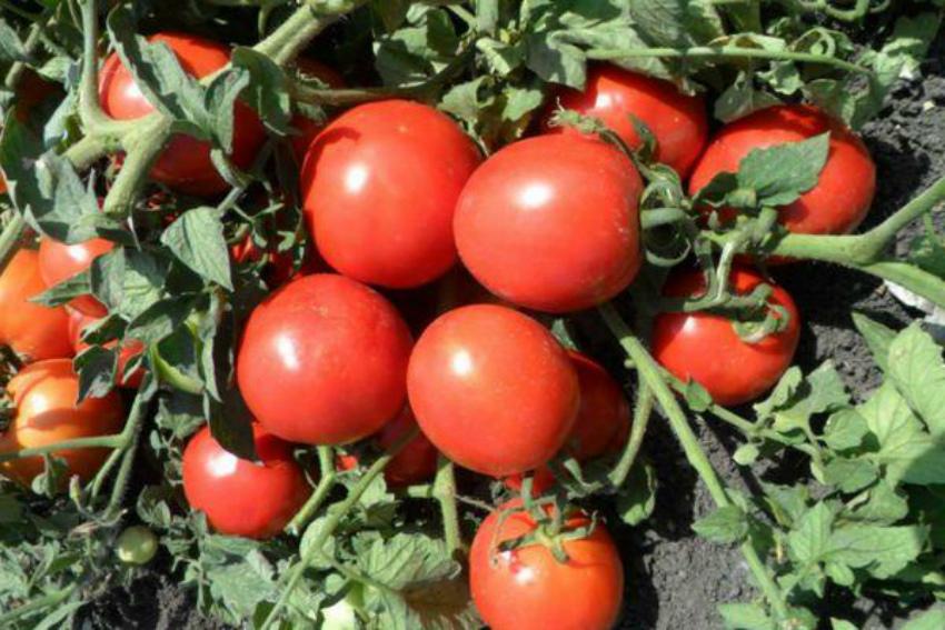 томаты сорта Мариша фото