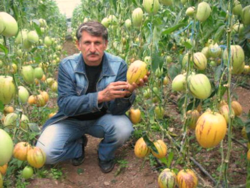 дынная груша выращивание