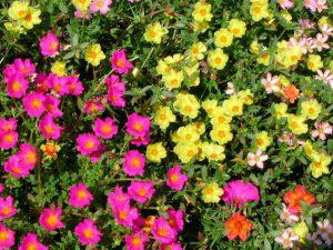 цветочный ковер портулака