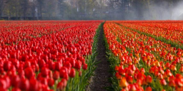 Весенний уход за тюльпаном для обеспечения егоактивного роста и цветения