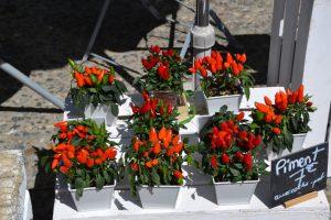 Перец в доме: как простимулировать цветение и получить урожай