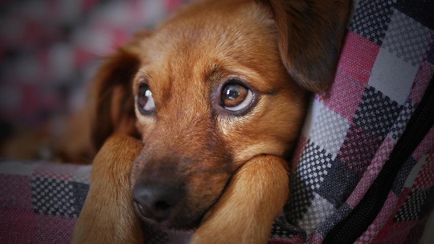 В городе собаки более изнежены