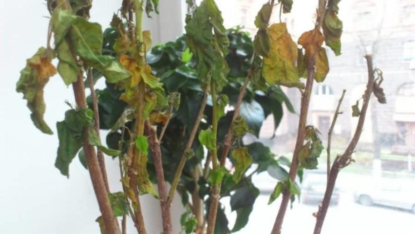 Домашняя или китайская роза: почему начинает болеть?