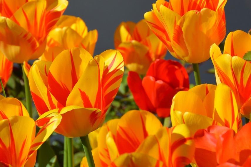 Разнообразие оттенков тюльпанов