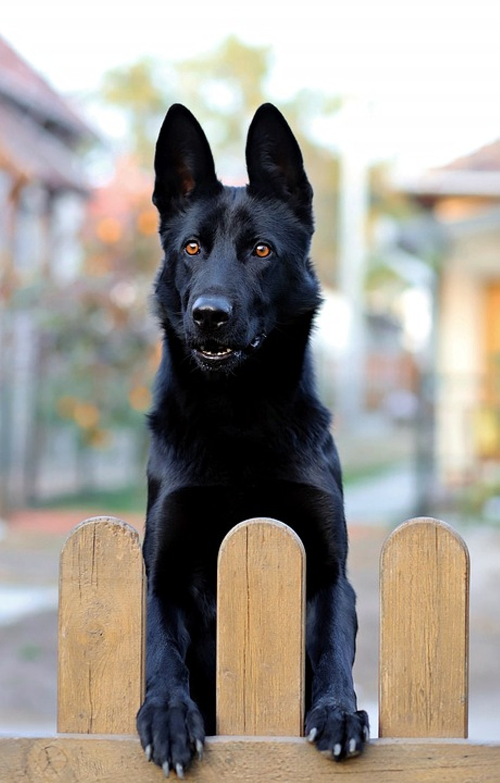 full black german shepherd - HD851×1332