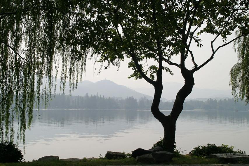 Ива взрослое дерево