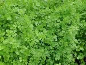 Кориандр (кинза), выращивание в огороде