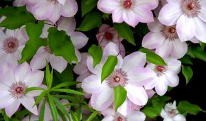 Уход за клематисом весной – гарантия роскошного цветения летом