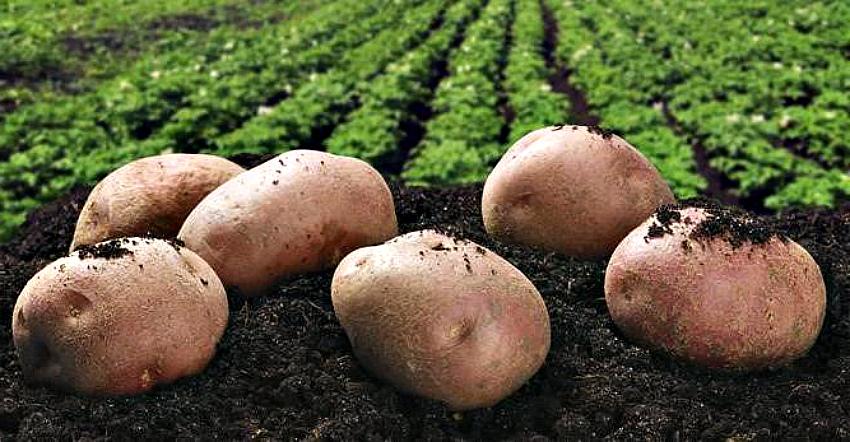 два урожая картофеля за сезон