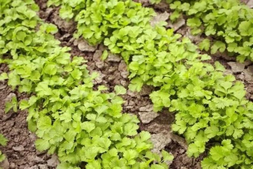 выращивание кинзы