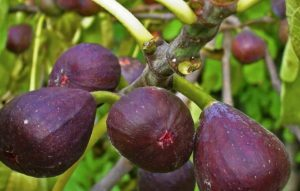 Инжир на домашнем подоконнике: особенности ухода и размножение