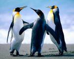 Penguins-4
