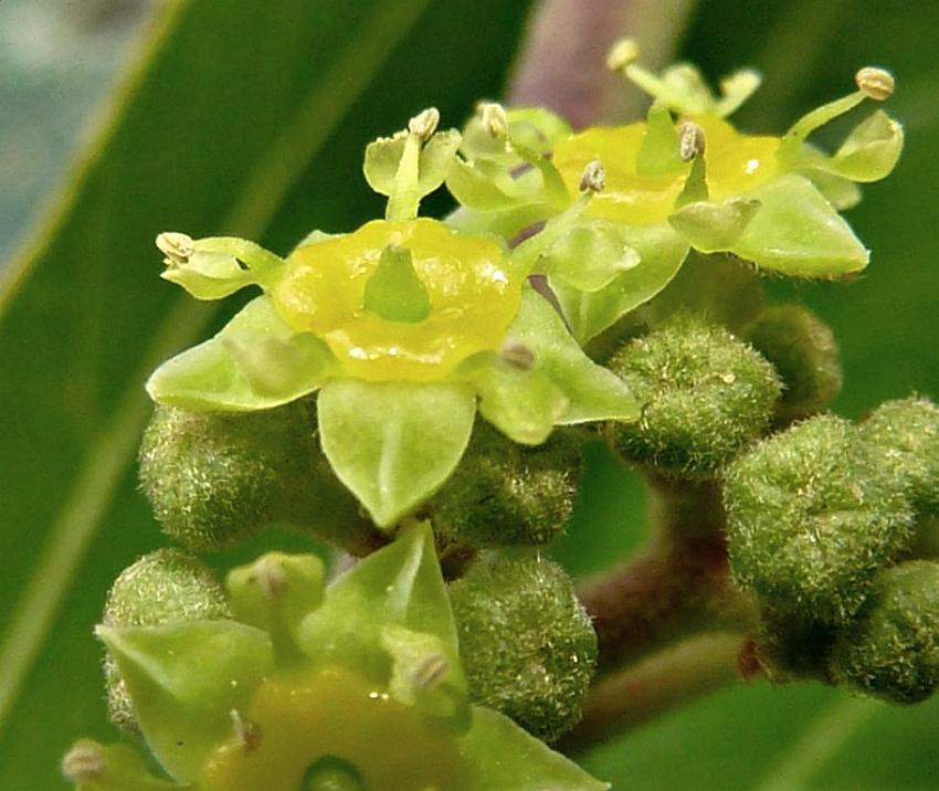 цветы зизифус