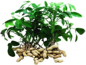 Вырастим арахис в своем огороде