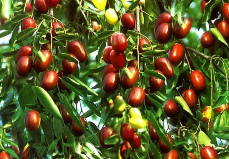 зизифус выращивание в домашни х условиях