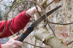 Когда обрезать деревья и как правильно это сделать