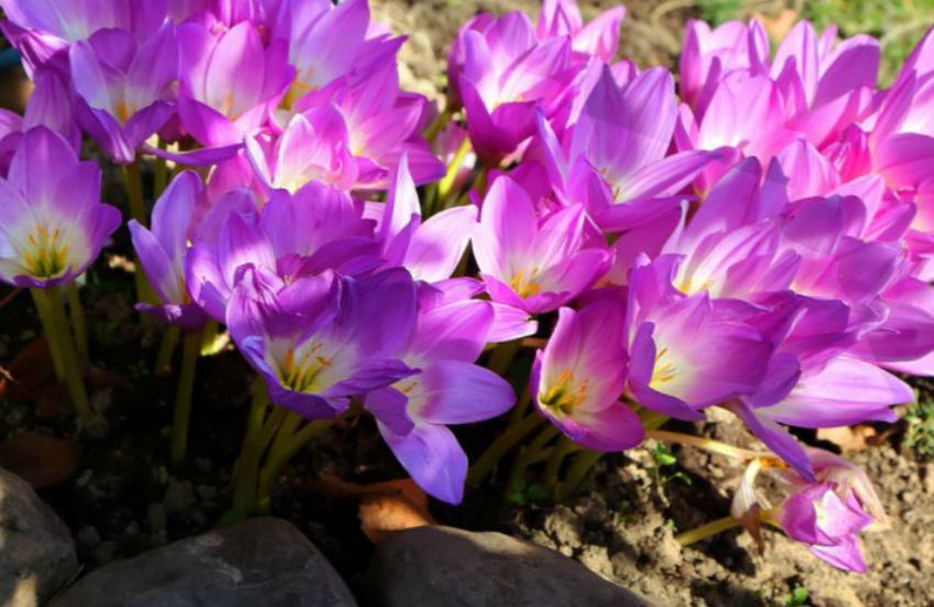 неприхотливые цветы безвременники