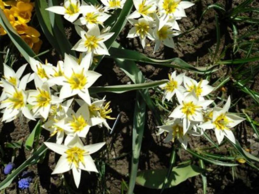 неприхотливые тюльпаны