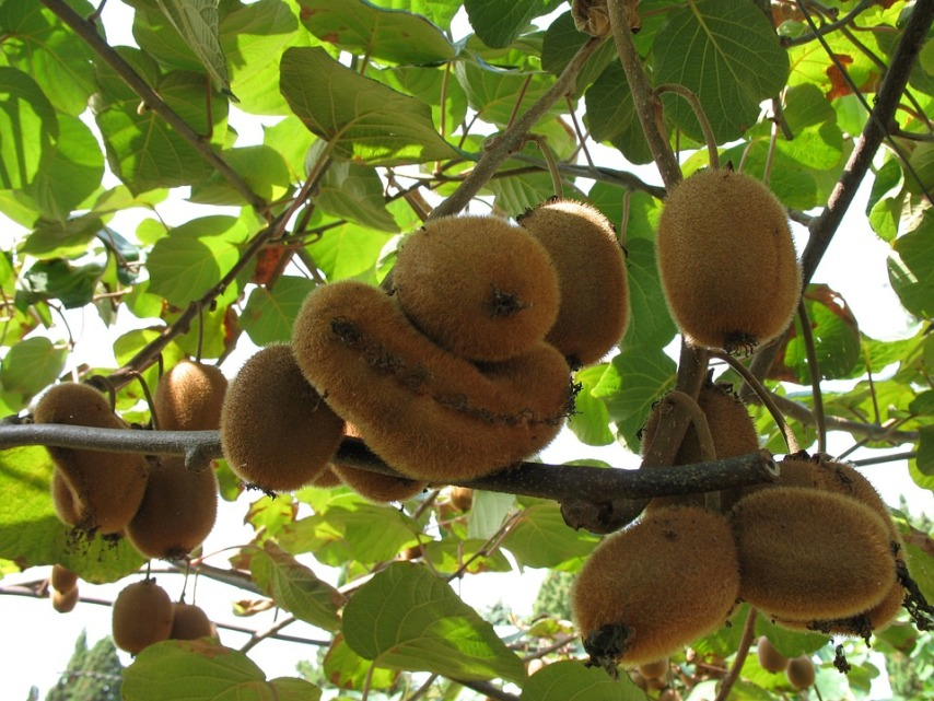 Выращивание киви