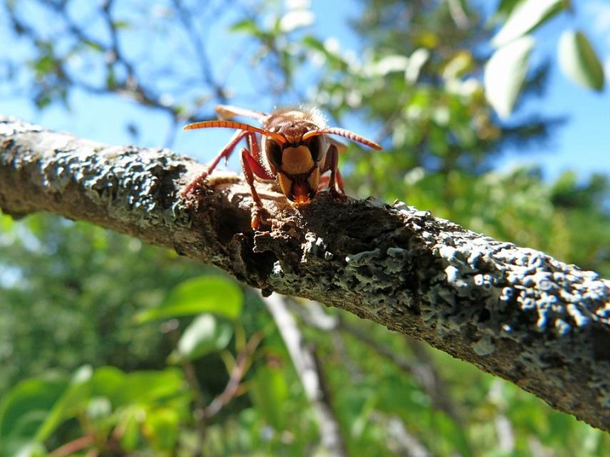 Крупные осы