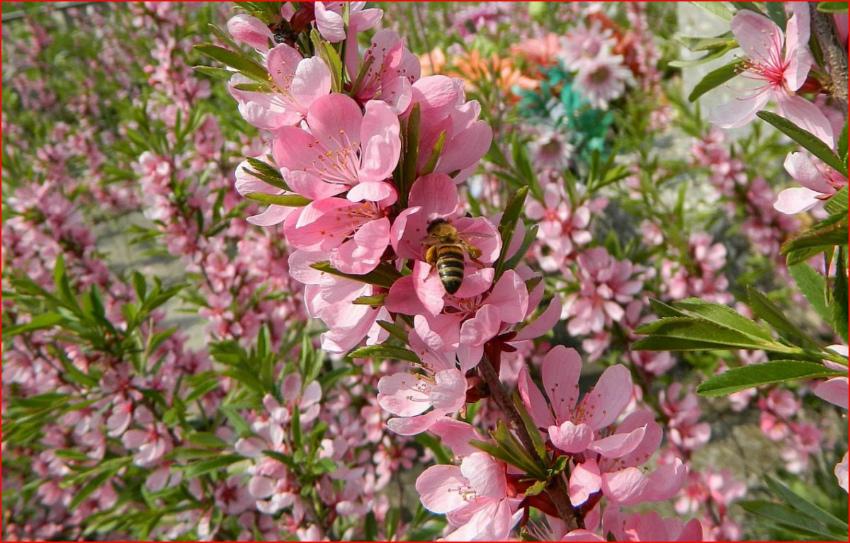 миндаль цветение