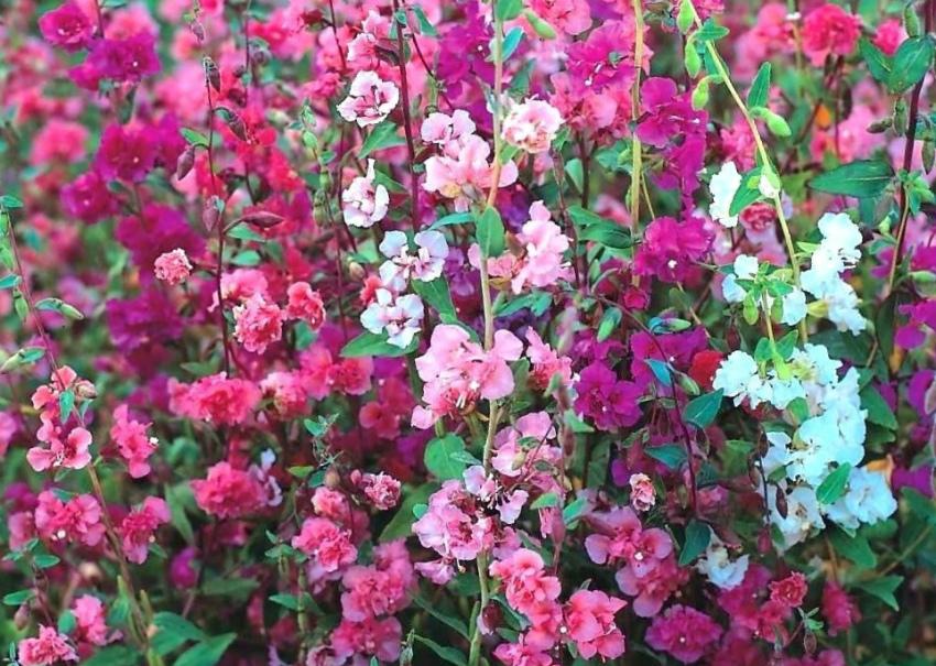 цветы кларкия
