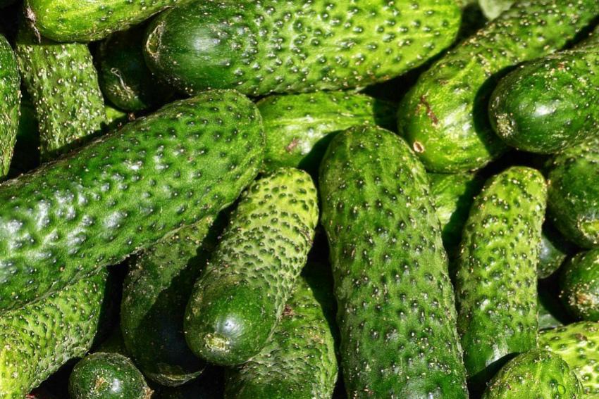 зеленцы огурцов