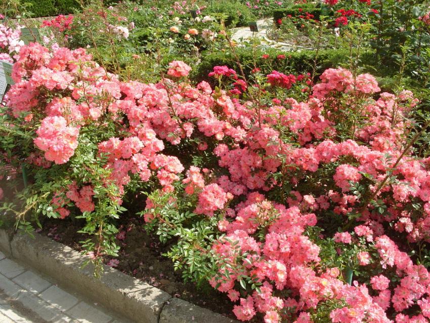 почвпокровные розы