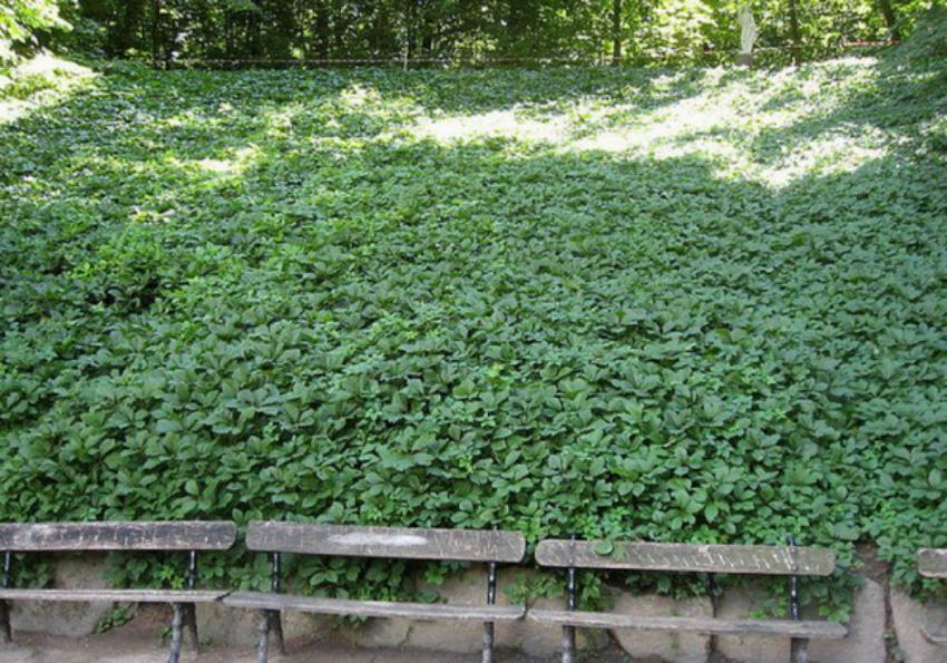 почвопокровный газон