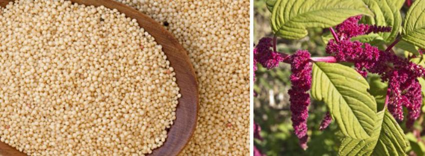 амарант семя