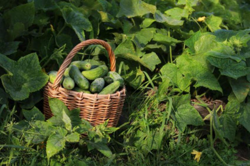 урожай огурцы