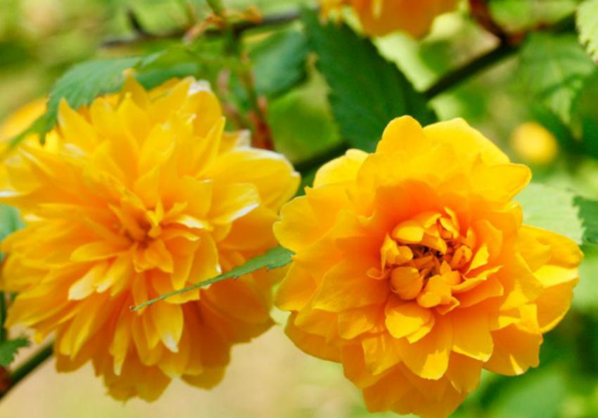 цветы керия